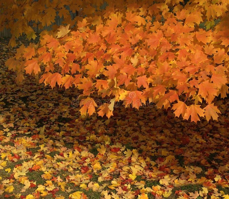 Hojas de otoño anaranjadas de oro fotografía de archivo