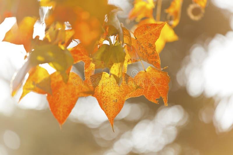 Hojas de otoño bajo luz del sol foto de archivo libre de regalías