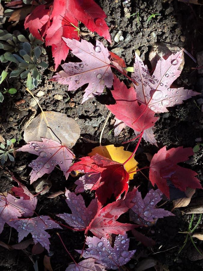 Hojas de otoño caidas con rocío fotos de archivo libres de regalías