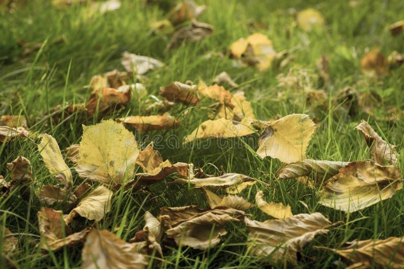 Hojas de otoño caidas en macro del césped imagen de archivo