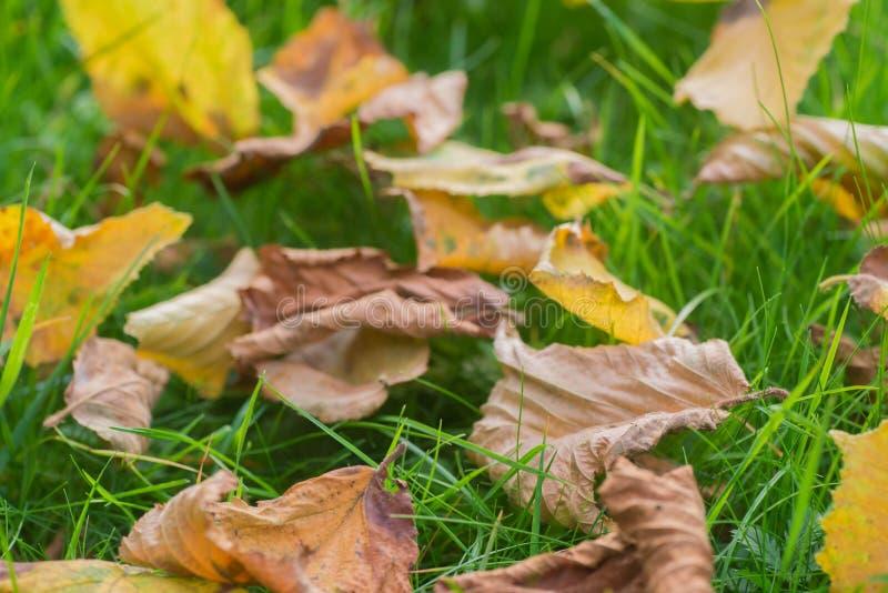 Hojas de otoño caidas en macro del césped fotografía de archivo