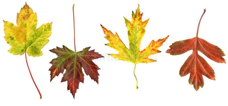 Hojas de otoño coloridas aisladas en el fondo blanco fotos de archivo libres de regalías