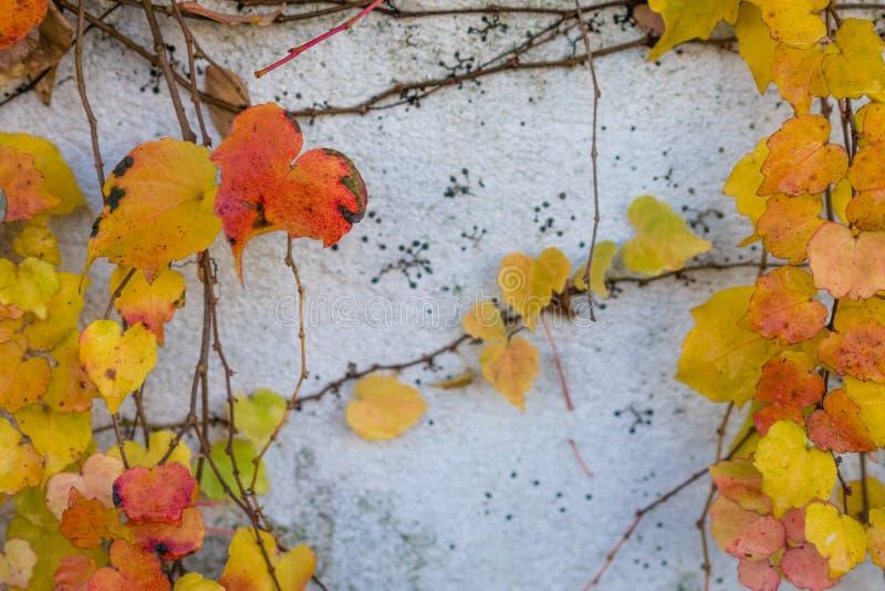 Hojas de otoño coloridas en la pared imágenes de archivo libres de regalías