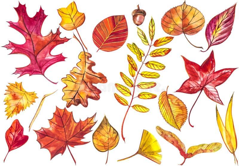 Hojas de otoño coloridas hermosas de la colección aisladas en el fondo blanco Ilustraciones de la acuarela ilustración del vector