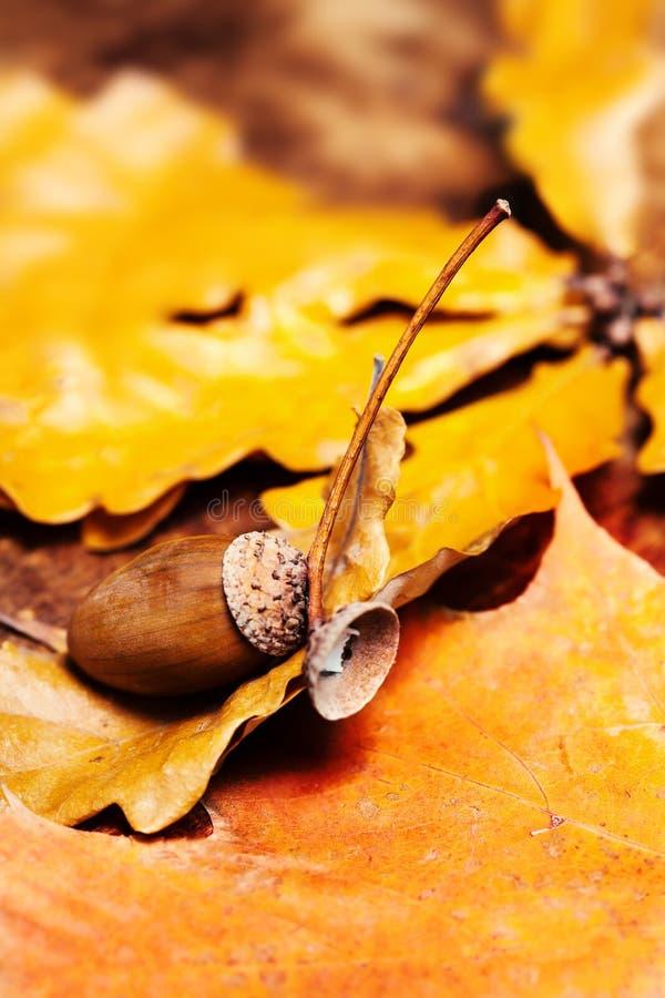 Hojas de otoño con las bellotas sobre fondo de madera con la copia vacía fotografía de archivo libre de regalías