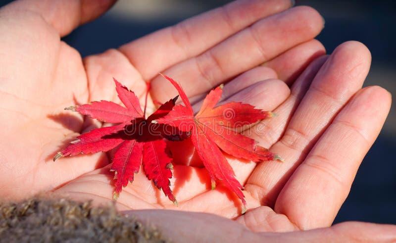 Hojas de otoño en las manos imagenes de archivo