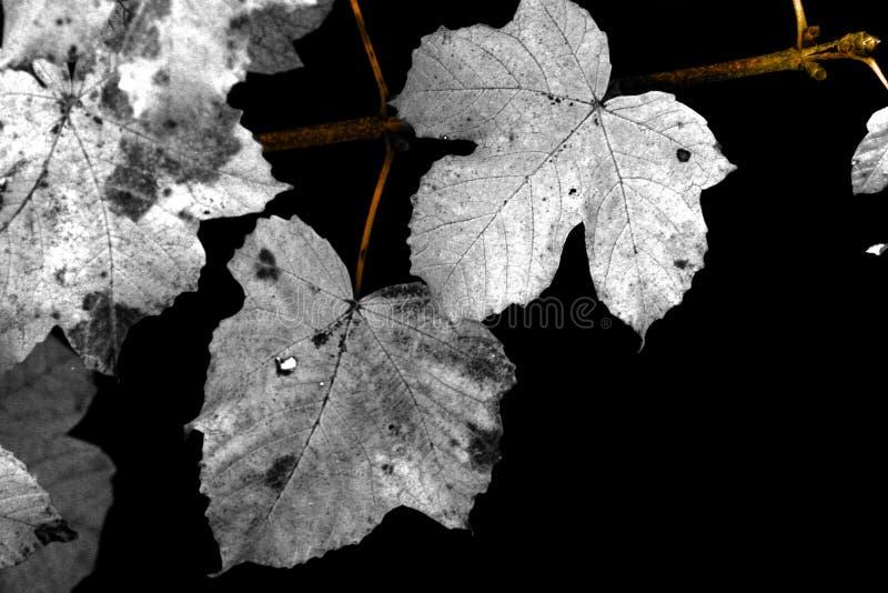 Hojas de otoño en negro imagen de archivo libre de regalías
