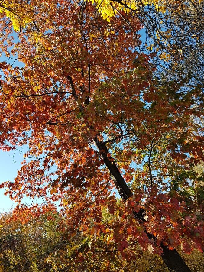 Hojas de otoño en un árbol imagen de archivo libre de regalías