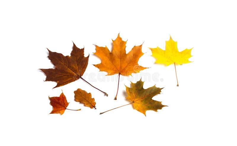 Hojas de otoño hermosas en el fondo blanco Foto ornamental decorativa de la hoja del roble del arce imagen de archivo