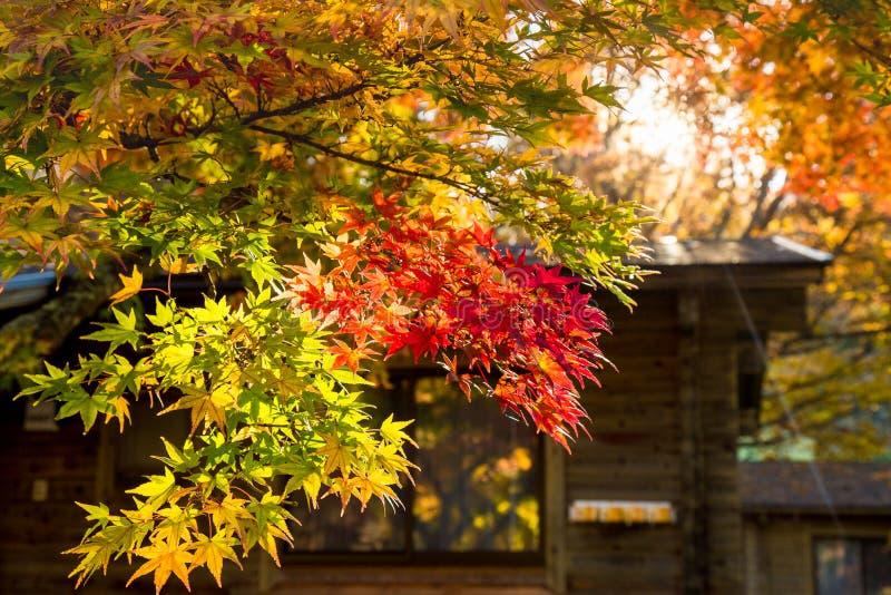 Hojas de otoño de la caída en árboles en Japón imagenes de archivo