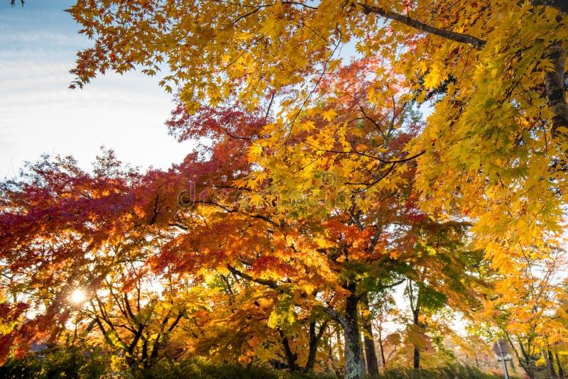 Hojas de otoño de la caída en árboles en Japón fotos de archivo libres de regalías