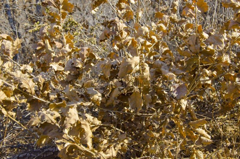 Hojas de otoño marrones secadas en árbol fotos de archivo libres de regalías