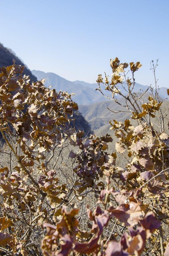 Hojas de otoño marrones secadas en árbol imagen de archivo libre de regalías