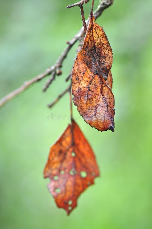 Hojas de otoño muertas imagen de archivo libre de regalías