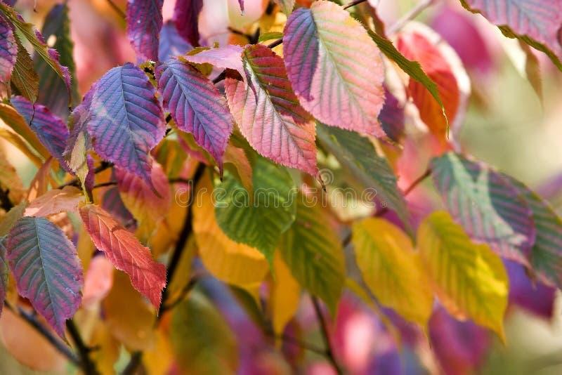 Hojas de otoño multicoloras fotografía de archivo libre de regalías