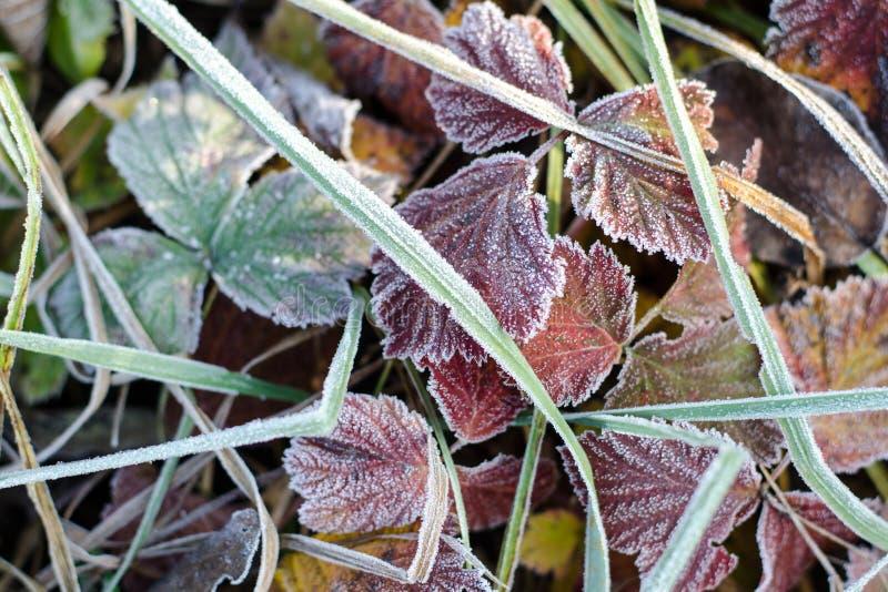 Hojas de otoño multicoloras caidas en la escarcha Brown, fondo rojo, verde del otoño Frost en la hierba y las hojas Jard?n del ot foto de archivo