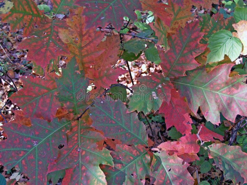Hojas de otoño multicoloras de un roble klenolistny fotografía de archivo