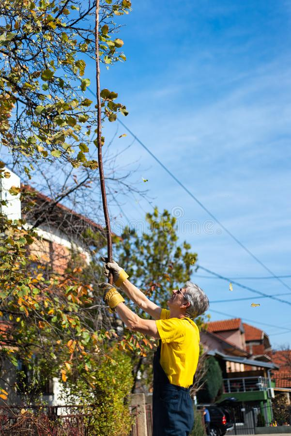 Hojas de otoño de perforación del hombre del árbol imágenes de archivo libres de regalías
