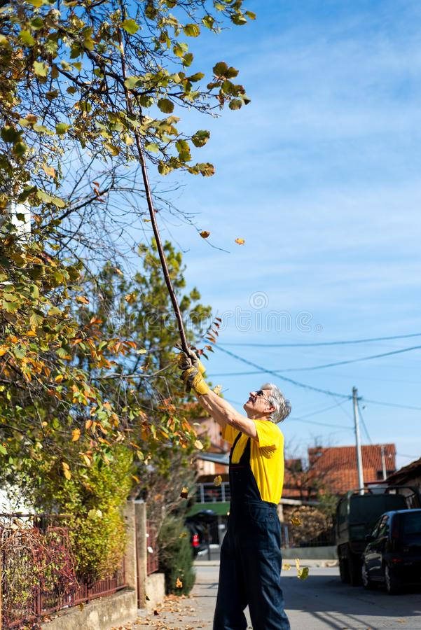 Hojas de otoño de perforación del hombre del árbol foto de archivo