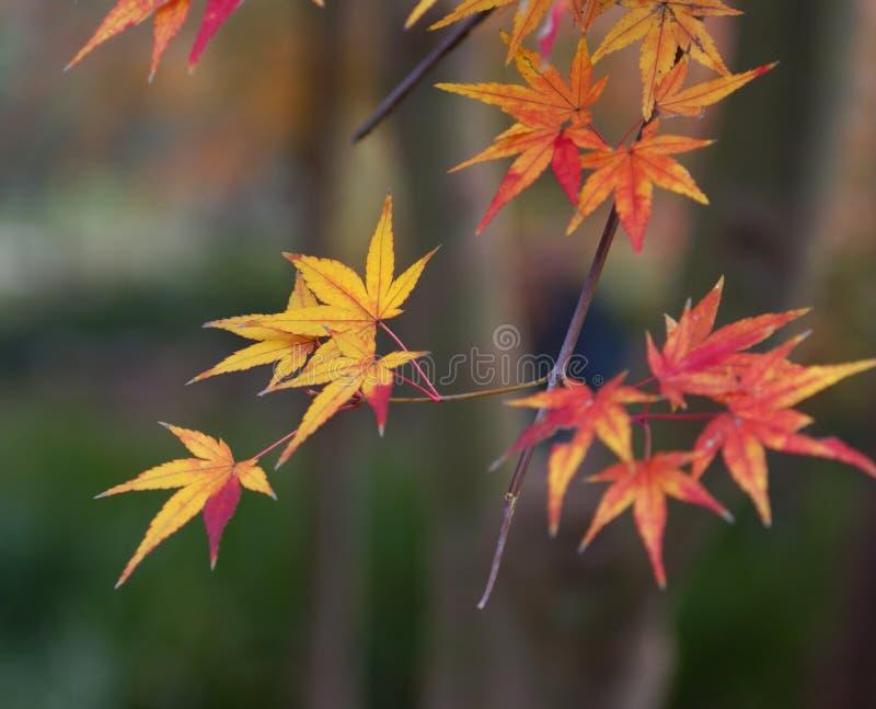 Hojas de otoño rojas imágenes de archivo libres de regalías