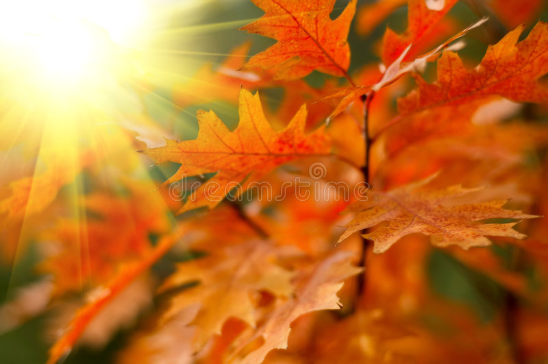 Hojas de otoño rojas fotografía de archivo
