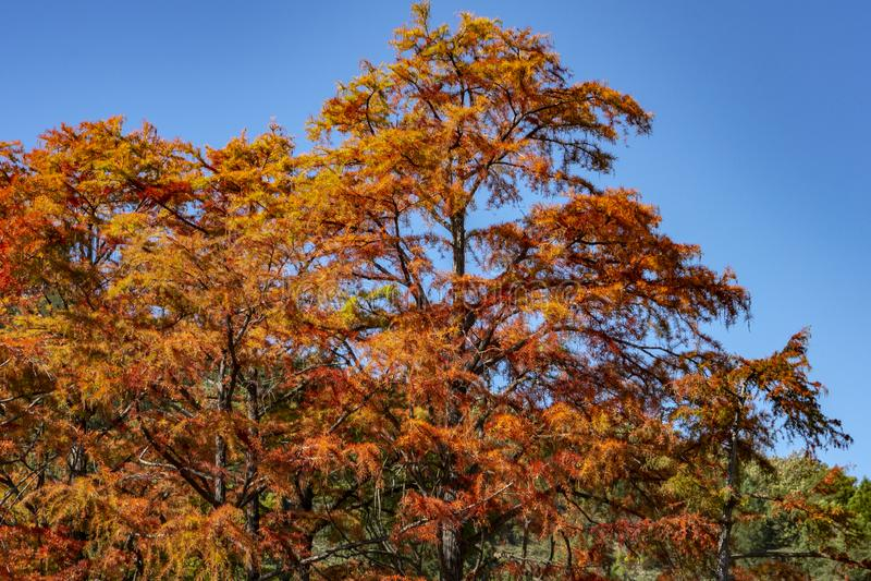 Hojas de otoño rojas del distichum del Taxodium del ciprés en el lago en Sukko fotos de archivo libres de regalías