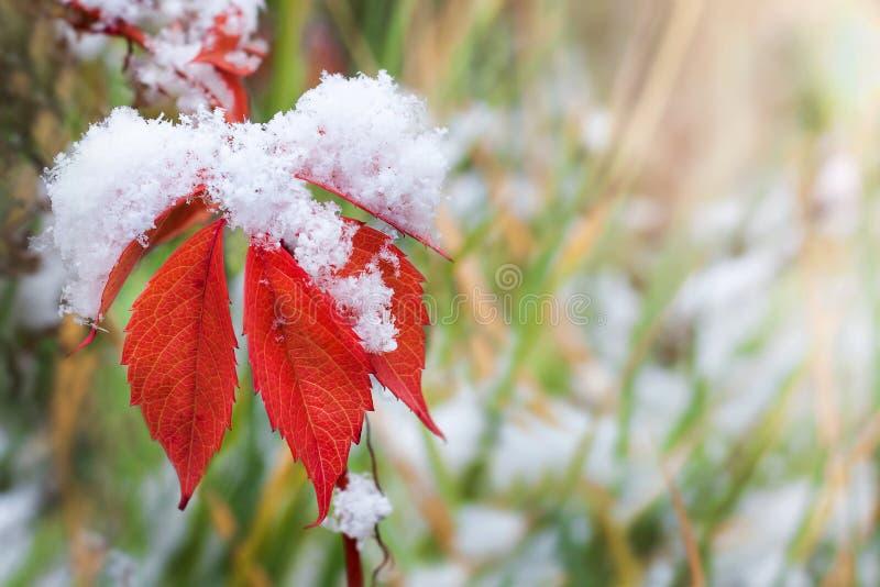 Hojas de otoño rojas en la nieve fotos de archivo
