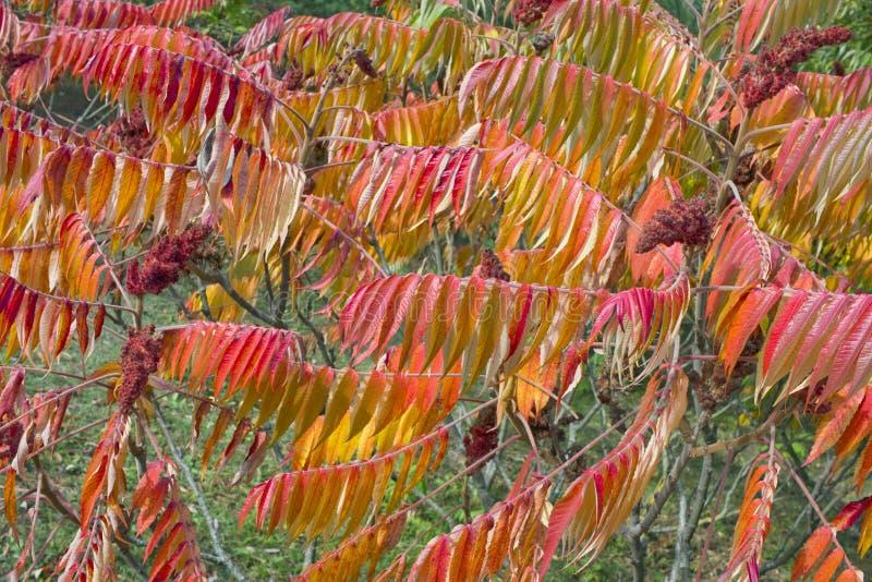 Hojas de otoño rojas de la planta de Sumach fotografía de archivo libre de regalías