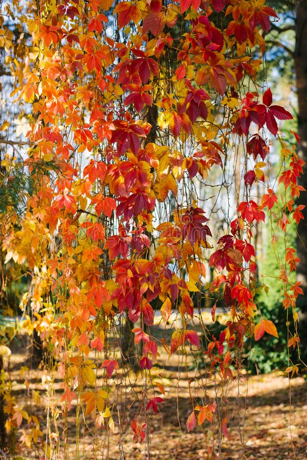 Hojas de otoño rojas de uvas silvestres cuelgan imagen de archivo libre de regalías