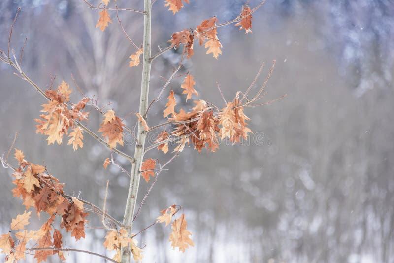 Hojas de otoño secas en ramas del roble imagen de archivo libre de regalías