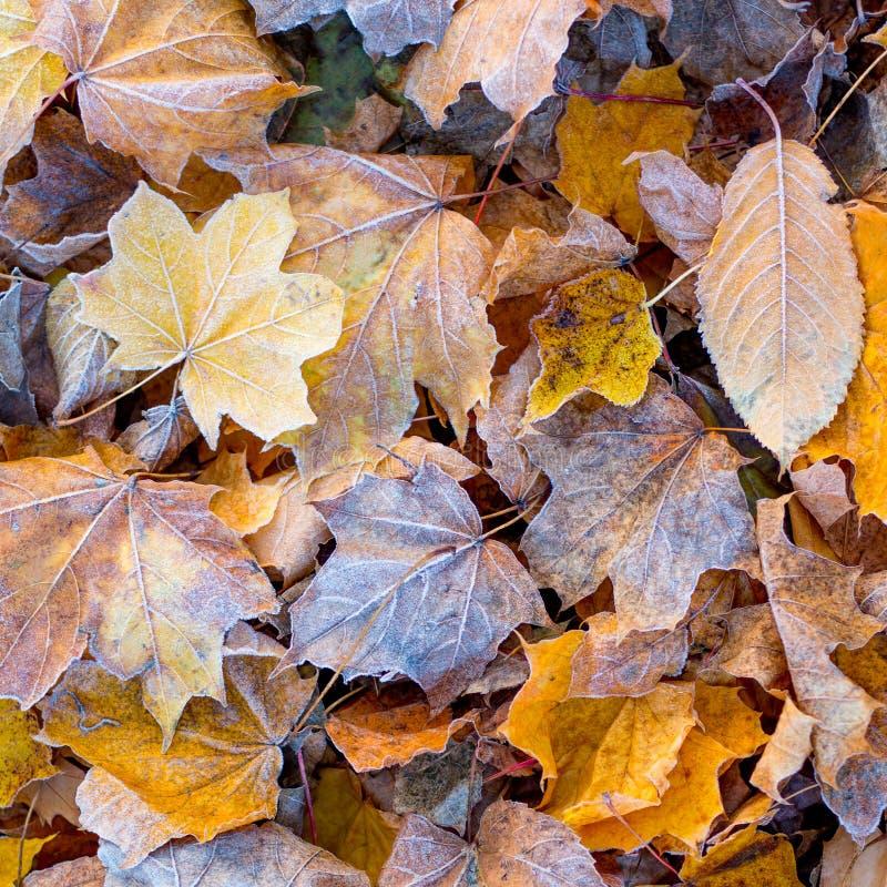 Hojas de otoño secas multicoloras, cubiertas con helada, en la tierra Background_ de las hojas de otoño imagen de archivo libre de regalías