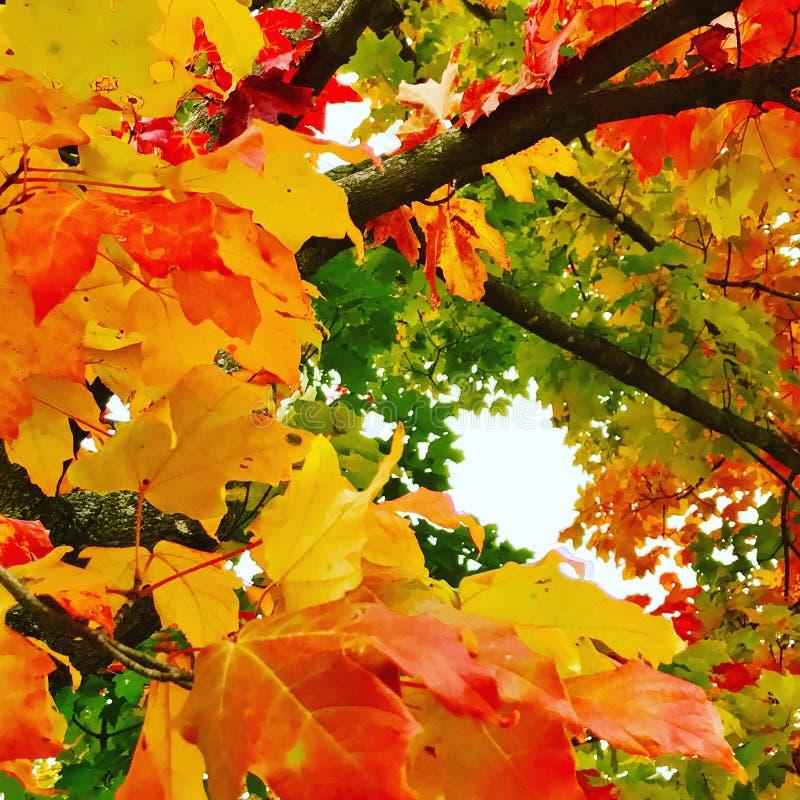 Hojas de otoño tempranas imágenes de archivo libres de regalías