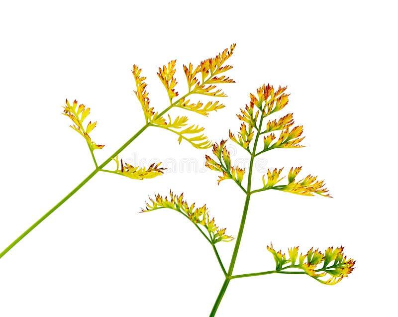 Hojas de oto?o fijadas Hoja con textura de la acuarela Hoja del otoño de la zanahoria fotos de archivo