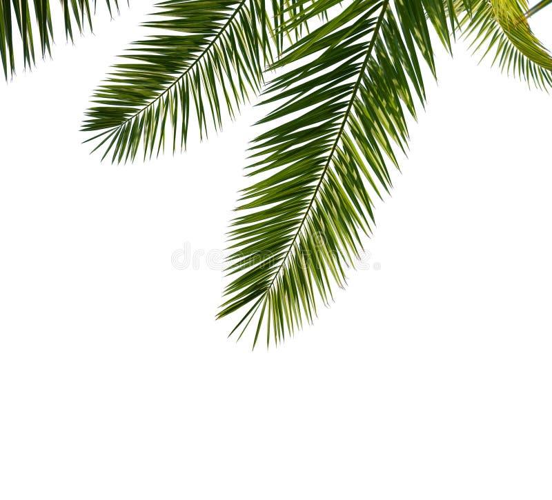Hojas de palma aisladas imagen de archivo