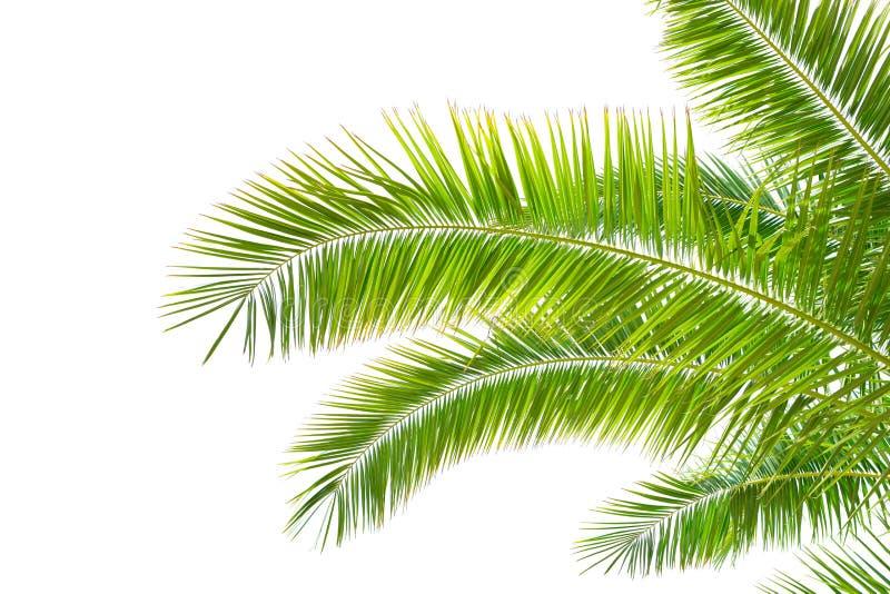Hojas de palma aisladas en el fondo blanco fotografía de archivo libre de regalías