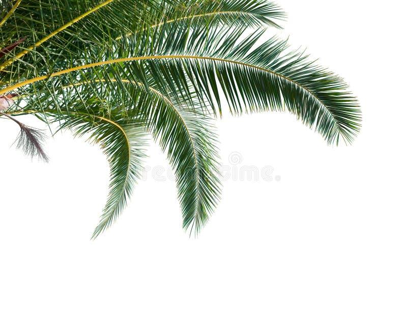 Hojas de palma aisladas en el fondo blanco fotografía de archivo