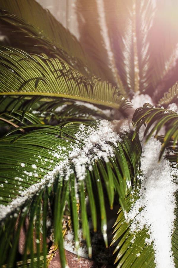 Hojas de palma cubiertas con la nieve, entonando, un pote del primer con la palmera del sitio, tiempo inesperado, clima que se re imagen de archivo