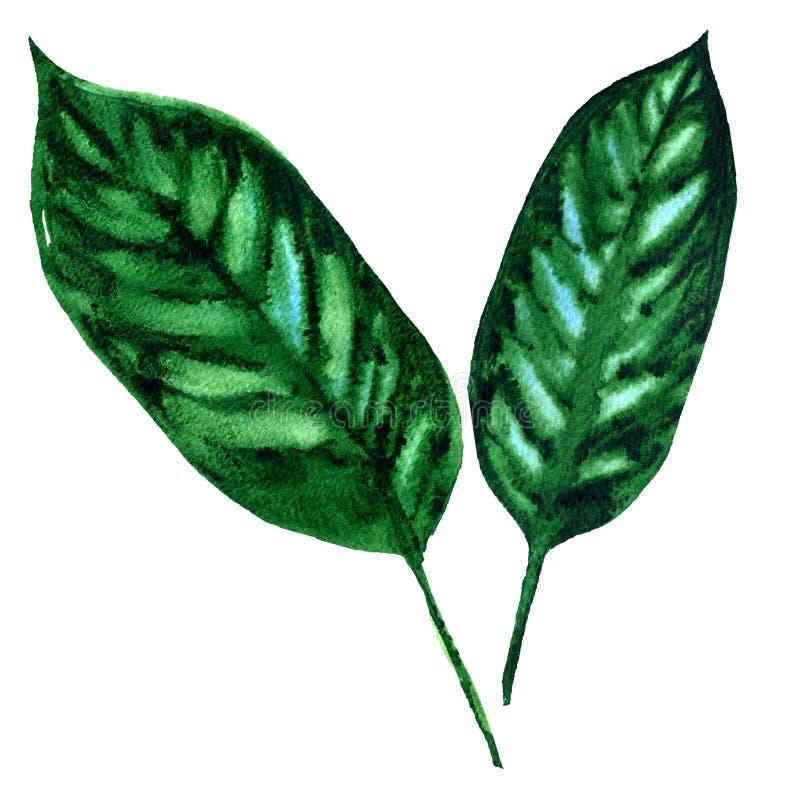 Hojas de palma exóticas tropicales, hoja verde, aislada, ejemplo de la acuarela en blanco stock de ilustración