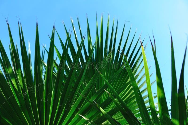 Hojas de palma hermosas foto de archivo