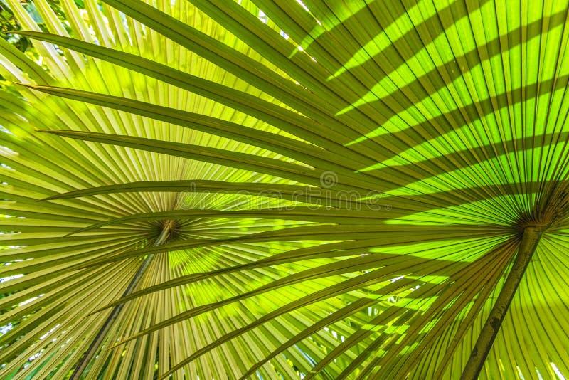 Hojas de palma hermosas del árbol fotos de archivo libres de regalías