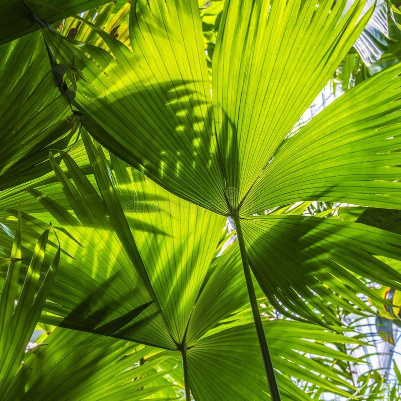 Hojas de palma hermosas del árbol en luz del sol fotografía de archivo