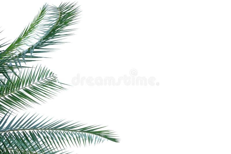 Hojas de palma tropicales en el fondo aislado blanco para el contexto verde del follaje fotos de archivo
