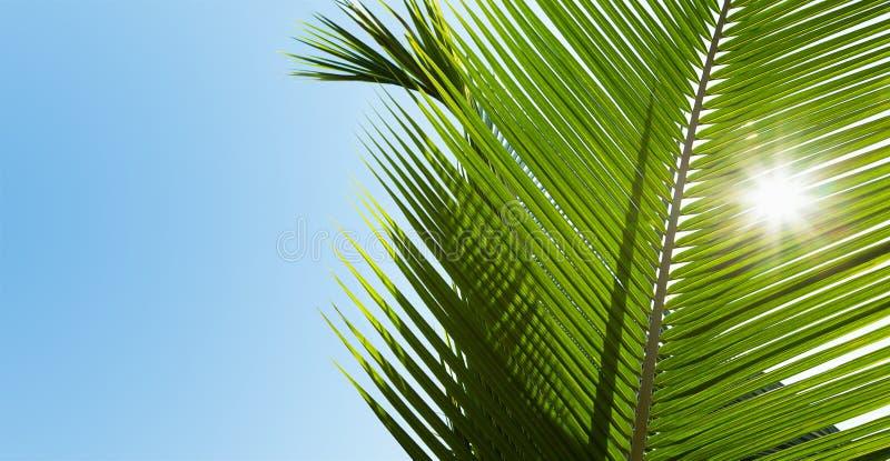Download Hojas De Palma Verdes En La Sol Imagen de archivo - Imagen de oasis, fresco: 42430777