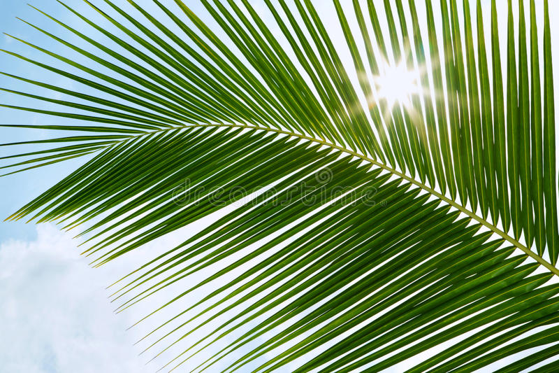 Download Hojas De Palma Verdes En La Sol Con El Rayo De Sol Foto de archivo - Imagen de ramificación, aislado: 42430826