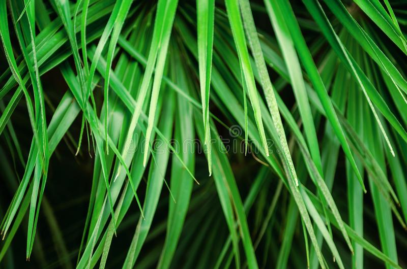 Hojas de palma verdes frescas brillantes tropicales Fondo, cartel fotos de archivo libres de regalías