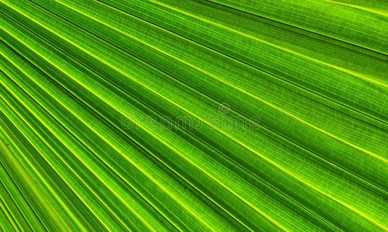 Hojas de palma verdes naturales para el uso como imagen de fondo también fotos de archivo libres de regalías