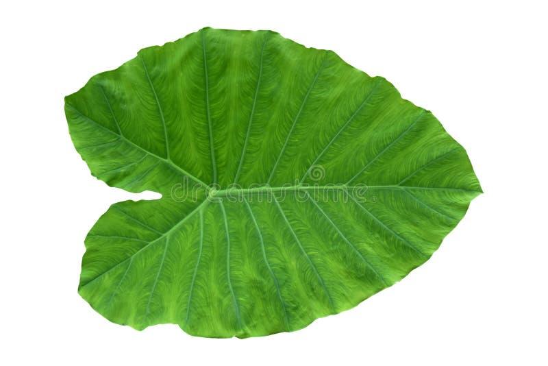 Hojas de plantas de plátano, vid evergreen tropical aislada en fondo blanco, sendero de recorte incluidoGrande corazón en forma  foto de archivo