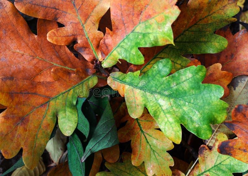 Hojas de roble caídas forman un patrón de hojas naranjas y verdes fotos de archivo libres de regalías