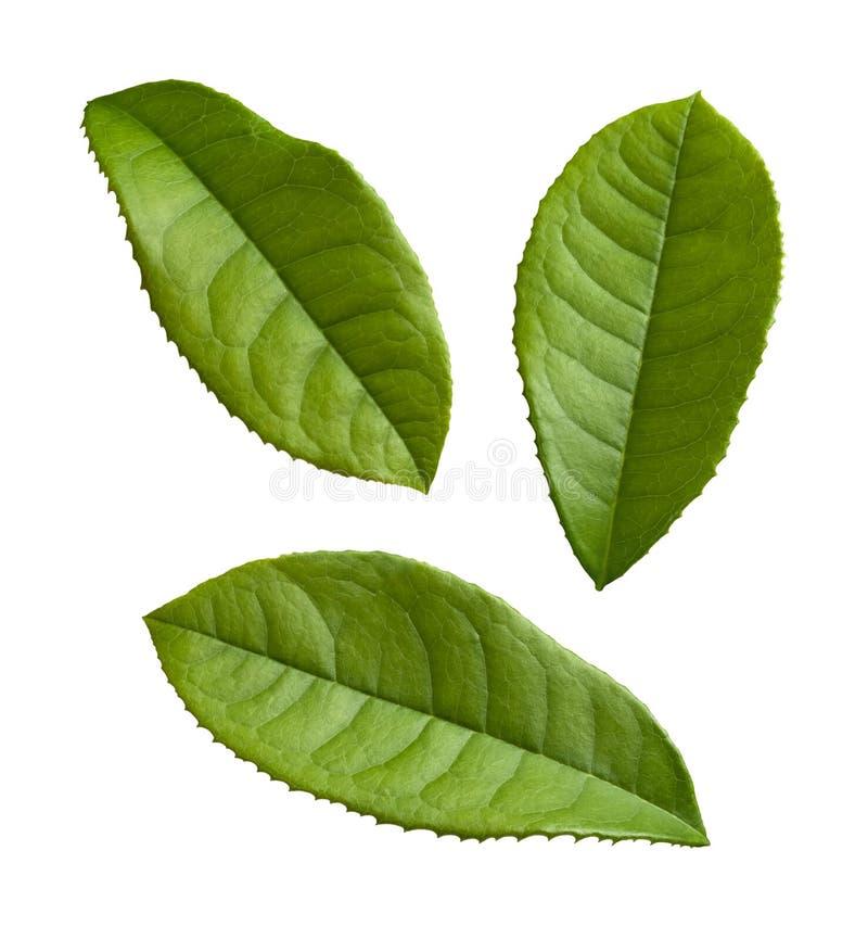 Hojas de té aisladas en un blanco imágenes de archivo libres de regalías
