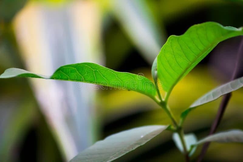 Hojas de té en el campo foto de archivo libre de regalías